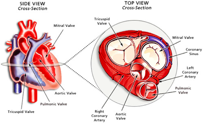 Heart Valves Diagram Labeled 30184 Loadtve